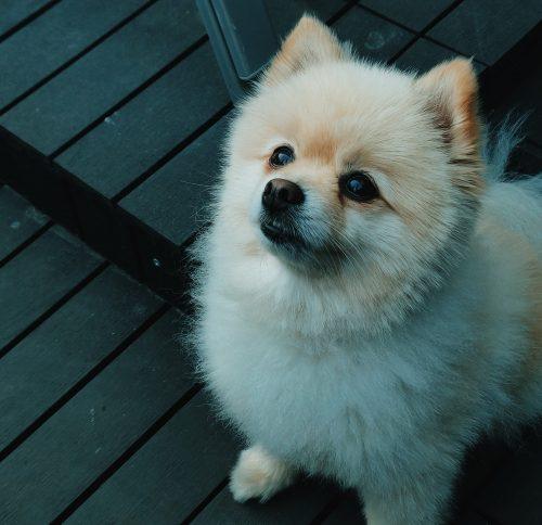 Pomeranian (2)