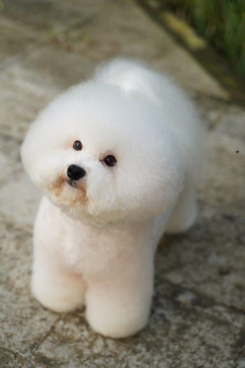bichon-frise-dog